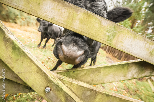 abstract of cattle behind a wooden gate