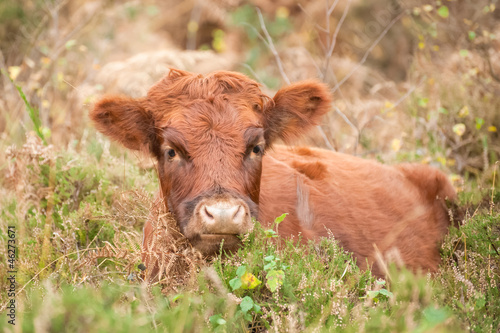 young brown cow laying in autumn foliage