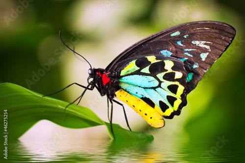 Fotobehang Vlinder Male Birdwing butterfly (Ornithoptera euphorion)