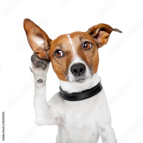 Leinwanddruck Bild dog listening with big ear