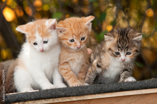 Fototapety, obrazy : Three Kitten