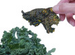 Kale Chip near fresh kale