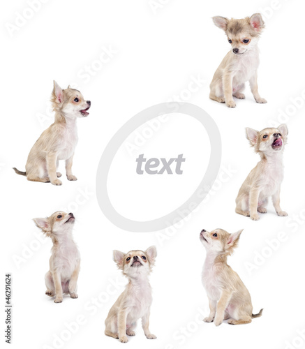 cute chihuahua puppies looking at center of picture isolated