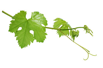 Grape leaves isolated