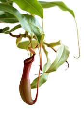 Carnivorous plant. Pitcher plant ( Nepenthes rafflesiana )