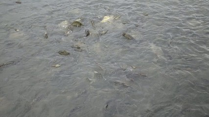 Silver Barb in the plentiful Chao Phraya river, Thailand