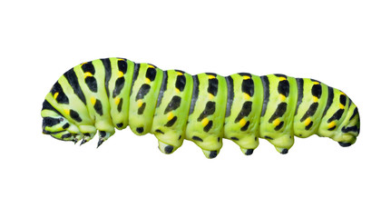 Сaterpillar of swallowtail 6