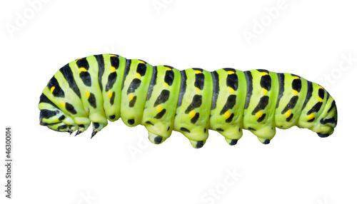 Deurstickers Vlinder Сaterpillar of swallowtail 6