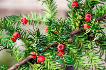 Taxus baccata with ripe cones