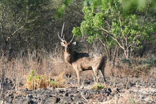 Foto op Plexiglas Indonesië Javan Rusa Deer