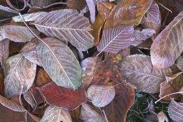 Blätter mit Reif