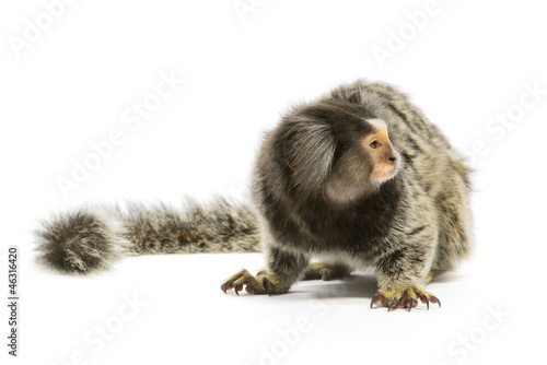 Foto op Canvas Aap Marmoset Monkey
