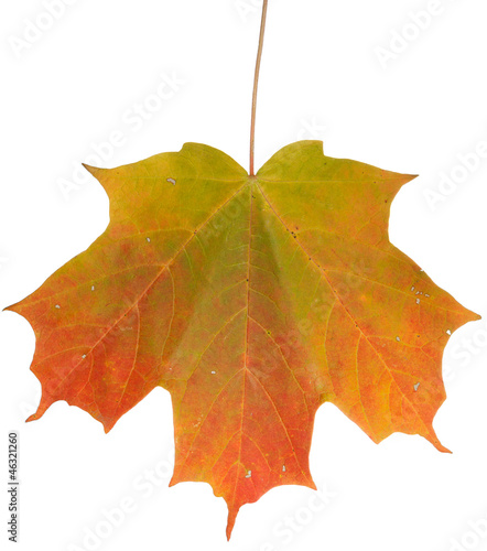 Changing Maple Leaf