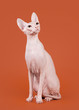 Don sphynx on orange background