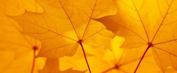 Ahorn Blatt Herbst Banner