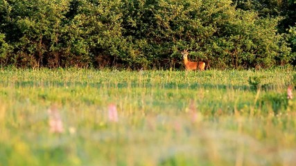 Young roe buck int he meadow