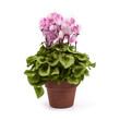 Pink cyclamen in pot isolated on a white background