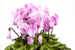 Detail of pink and white cyclamen isolated on white background