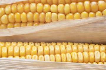 Detalle de los granos de maíz maduros en la mazorca