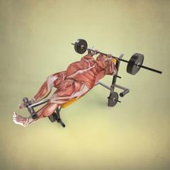 Anatomia Humano levantando Pesas