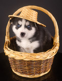 Husky's in the basket