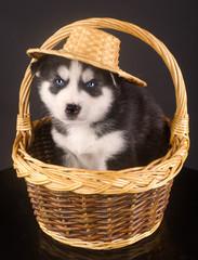 Husky's in the basket