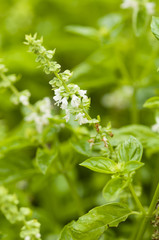 Basil flowers and leaves