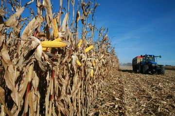 Maïs à la récolte