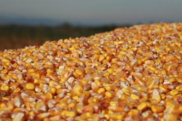 Tas de grain de maïs à la récolte
