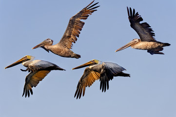 Brown Pelican Flock