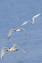 Sandwich Terns Flying