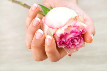 Close up of female hand holding pink rose.