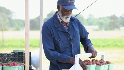 Senior Black farmer placing baskets of fresh strawberries on table