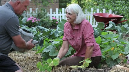 Senior Caucasian couple planting and watering zucchini in vegetable garden with dog nearby