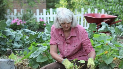 Senior Caucasian woman planting and watering zucchini in vegetable garden with dog nearby