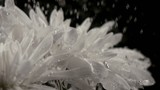 Water drops falling onto chrysanthemum (slow motion)