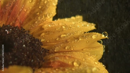 Water drops falling onto sunflower (slow motion)