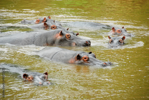 Hippo, Ishasha river, Queen Elizabeth National Park, Uganda