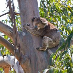 koala tree square