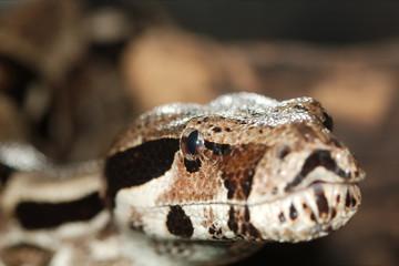 Python, not venomous snake (Latin Pythonidae)