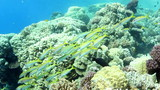 Shoal of Yellowfin Goatfish, swimming around a coral reef. poster