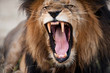 Angry roaring lion - 46364084