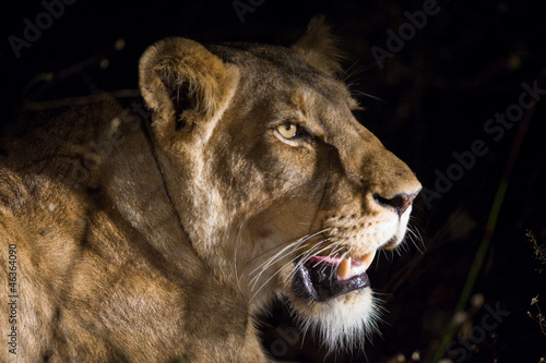 Female lion at night