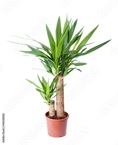 In de dag Palm boom Yucca, house plant in a pot