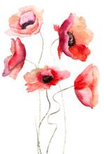 Piękne kwiaty maku