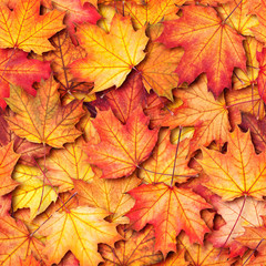Autumn texture with maple leaves