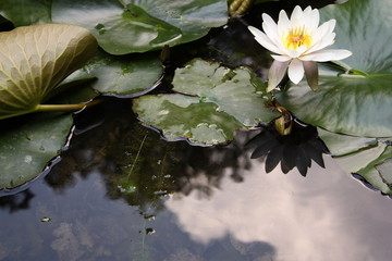 Silent Waterlily
