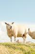 Sheep grazing in field of grass. Dike. Blue cloudy sky.