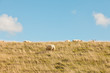 Sheep grazing in field of grass. Dike. Blue cloudy sky.