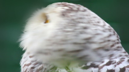 polar owl looking